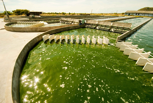 Cách làm giảm mụn trứng cá với thực phẩm tảo lục xoắn